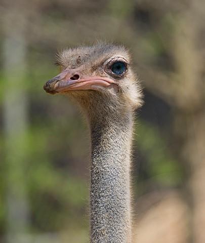 Ostrich2010