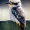 Kookaburra 3web