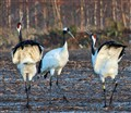 Hokkaido Red-crowned Cranes in courtship