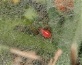 Little Red Spider