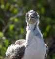 Juvenile Nasca Booby on Galapagos Islands