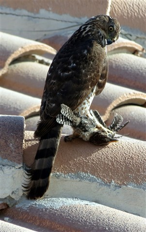 Cooper's hawk w. prey