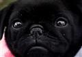 Black Pug Pup