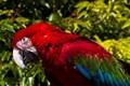 A Red and Green Macaw (Ara chloropterus).