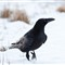 Raven in snow
