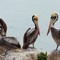 Meeting of pelicans