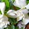 Gardenia # 12