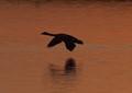 goose at sunset