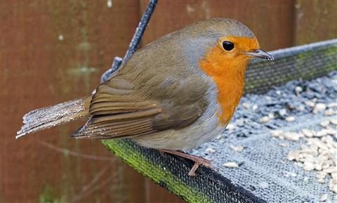 Frosty Robin (1)