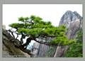 Pine bonsai at Mounts Huangshan