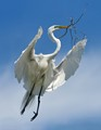 Great Egret Rising