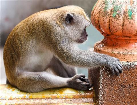 2011-11-30 PS Malaysia Batu Caves Monkey Contemplation