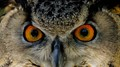"Eurasian Eagle Owl's ""Big Eyes"""