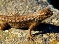 Western Fence Lizard Elkhorn Slough, CA
