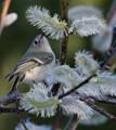 Nashville warbler on beautiful white plant