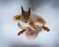 Red squirrel jumping in the snow. Taken in the Cairngorms after some heavy snow, Scotland.
