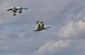 Flying Coscorobas