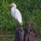 Sentinel: An egret on watch