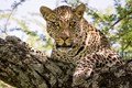 Leopard resting in tree