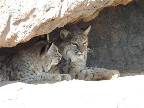 Bobcats. Arizona Sonoran Desert Museum