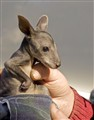 Care  for an orphaned kangaroo