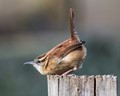 Carolina Wren ready to launch