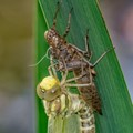Southern Hawker, newly emerged