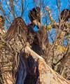 buzzards on lake Buchanan1