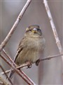 Framed House Sparrow