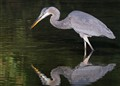 Great Blue Heron Twice
