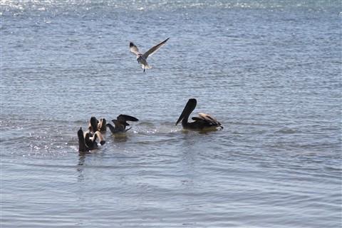SeagullsVSPelicans