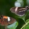 Two Butterflies with kit lens - flash - small