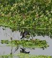 DPR Challenge-Best photo of the year-20.Indian Cormorant,Rajarhat swamp,Kolkata,W.B,India.