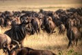 Watchful Wildebeest