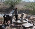 India - Rajasthan 'Sacred Cow'