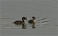 Podiceps cristatus in Moscow