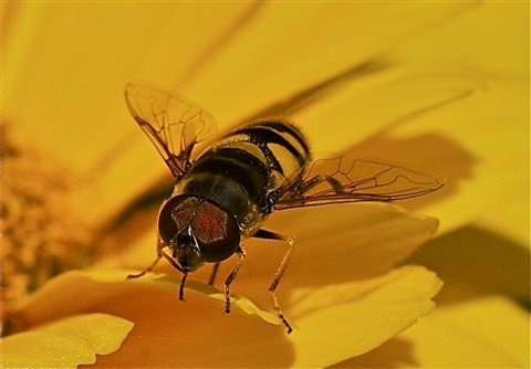 Hoverfly on Long Island