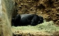 sleeping gorilla_DSC2628
