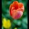Tulip 1 2006