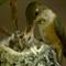 Chaikin_Ann_RufousHummingbird-3