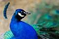 Peacock's Blues