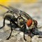 Housefly Extreme Macro