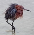 Reddish Egret with newly washed hair