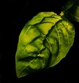 One basil leaf, backlighted