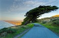 Windswept Cypress Tree