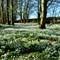 Snowdrops at Burton Agnes, East Yorkshire