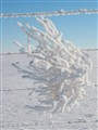 frosted tumble weed