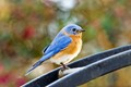 Mr. Bluebird is scoping things out.