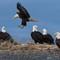 6 homer eagles