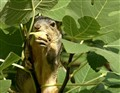 Figs.Sweet!